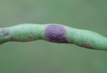 Angular leafspots on French bean pods.