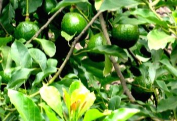 Healthy avocado fruits on a tree