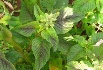Amaranthus plant