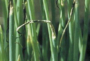 <b>Purple blotch</b> on onion. Leaf-tip dieback is a typical symptom of infection by<i> Alternaria porri</i> on onion and shallot.
