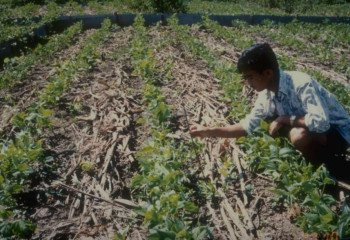 Mulching with residues from maize in Thailand