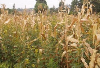 Intercropping pigeon peas and maize