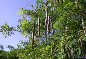 Moringa oleifera pods
