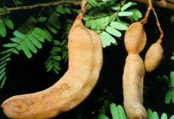 Tamarind (Tamarindus indicus)