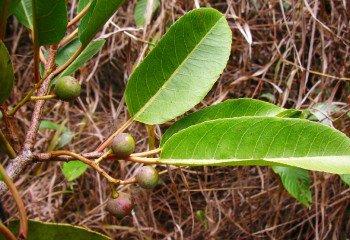 Prunus africana