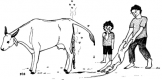 Cow showing a stillborn foetus and placenta