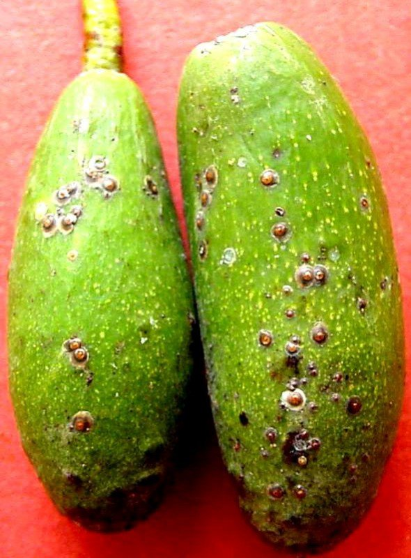 <p><b>Armoured scales</b> on avocado fruit. The scale cover of the adult female is oval to circular, 1.5-2.0 mm across, fairly flat, very thin and translucent </p>      <p>(c) A. M. Varela, icipe</p>