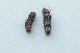"<p><b>Spiny bollworm</b> <i>(Earias biplaga)</i> larvae</p>      <p>(c) <a href=""http://www.dropdata.net"">www.dropdata.net</a></p>"