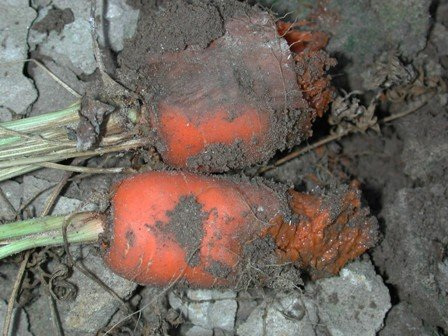 <p><b>Bacterial soft rot</b> caused by<i> (Erwinia carotovora var. carotovora)</i> - here on carrot</p>      <p>© Oregon State University</p>