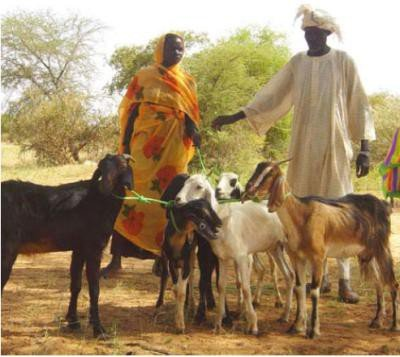 <p><b>Holistic approaches to disease prevention control</b> (woman and man participants in rural training course in learning how to improve health of their goats - Sudan)</p>      <p>(c) Mohammed Salih, Practical Action</p>