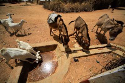 <p><b>Water for livestock</b> is critical for communities, which depend on their livestock as a source of livelihood.</p>      <p>(c) ACT/Caritas/NCA/Mohamed Nureldin Abdallah</p>