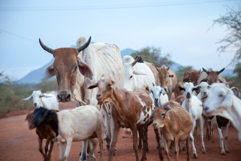 <p>Goats and cattle in Tharaka - many factors influence the health and welfare of an animal </p>      <p>(c) Biovision</p>