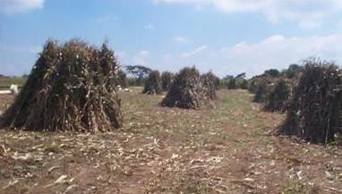<p><b>Maize stovers conservation</b> in the field for utilisation by livestock.</p>      <p>(c) JO Ouda, KARI, Kenya</p>