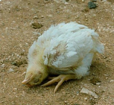 <p>Newcastle disease in a broiler chick: twisted head</p>      <p>(c) L. Mahin, Wikipedia</p>