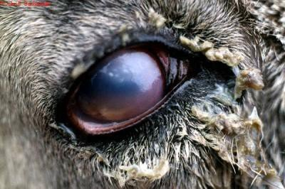 <p>Pink Eye</p>      <p>(c) John B. Bashiruddin. Reproduced from the Animal Health and Production Compendium, 2007 Edition. CAB International, Wallingford, UK, 2007</p>