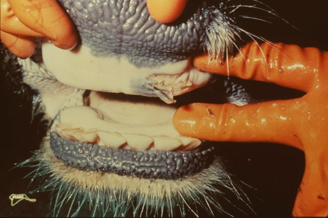<p>Ruptured oral vesicle in a cow with foot and mouth disease </p>      <p>(c) United States Department of Agriculture</p>