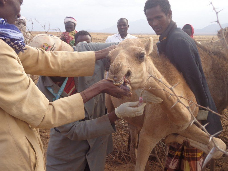 <p>Men work together to bleed a camel during a <b>brucellosis</b> study in Marsabit County, Kenya</p>      <p>(c)  Nelson Mwangi Muriu, CDC Global</p>