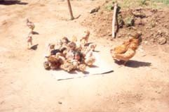 <p>A <b>foster hen</b> with chicks of different ages</p>      <p> (c) Henry Ondwasy, KARI</p>