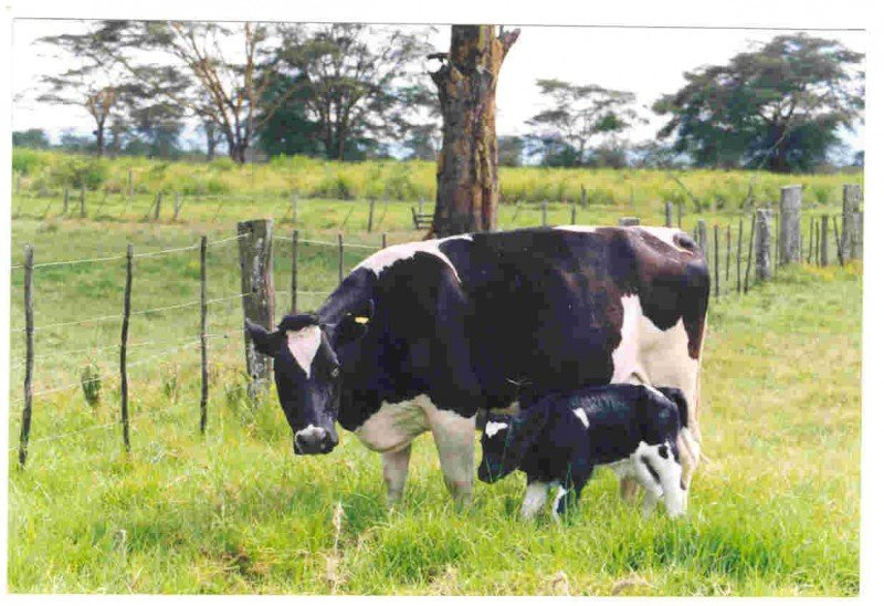 <p><b>Friesian cow with calf</b></p>      <p>(c) AIC Documentation Unit, Kenya</p>