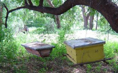 <p> Examples of <b>Kenyan Top Bar Hives </b>(left) and<b> Langstroth hive </b>(right) Hives in Turkana District. Beginners should go for the simpler and cheaper KTBH.</p>      <p> (c) Thomas Carroll, Kenya (2006) 	</p>