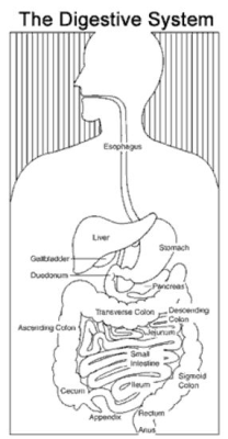 "<p><b>Digestive Tract</b></p>      <p>(c) <a href=""http://www.digestive.Niddk.Nih.Gov"">www.digestive.Niddk.Nih.Gov</a></p>"