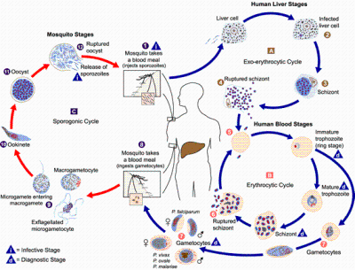 "<p><b>Plasmodium spp. life cycle</b></p>      <p>(c) CDC (Courtesy of EcoPort, <a href=""http://www.ecoport.org"">www.ecoport.org</a>)</p>"