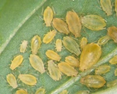 <p> <b>Green peach aphid</b> <i>  (Myzus persicae) </i>. Adult wingless females are 1.2-2.1 mm in body length and very variable in colour. </p>      <p>© Whitney Cranshaw, Colorado State University, Bugwood.org</p>