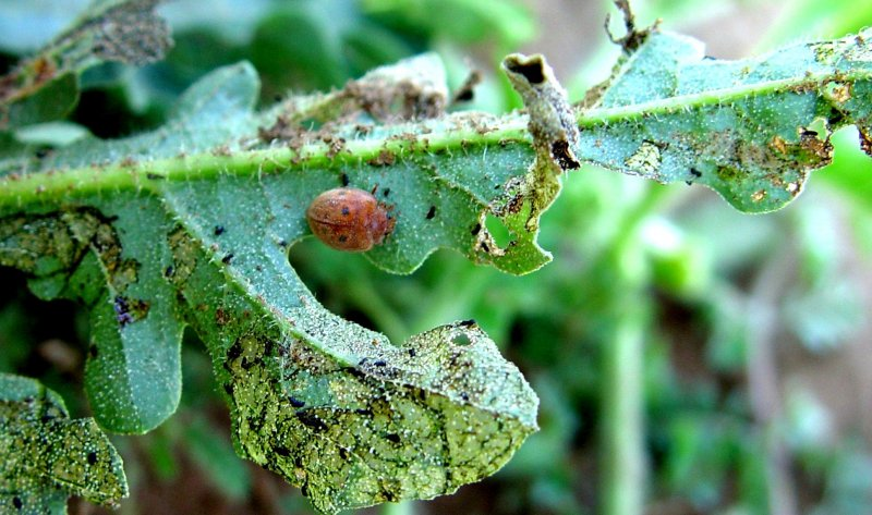 <p><b>Epilachna adult</b> feeding on cucurbit leaf. Adults and larvae feed on the leaf surface, scraping away cells to form open windows, causing the leaf to wither. Extensive feeding can completely skeletonize the leaf. They can sometimes also feed on the fruit causing surface damage through which secondary infection may occur.</p>     <p>(c) A.M. Varela, icipe</p>