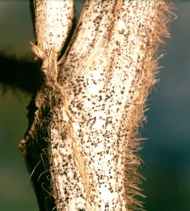 <p><b>Anthracnose</b> on soybean</p>      <p>© Clemson University - USDA Cooperative Extension Slide Series, Bugwood.org</p>