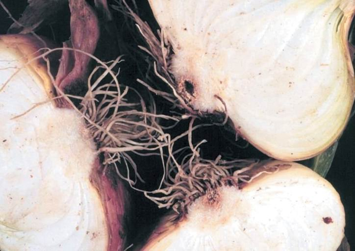 <p><b>Fusarium basal rot </b><i>(Fusarium oxysporium f.sp. cepae) on onion</i></p>     <p>© David B. Langston, University of Georgia, Bugwood.org</p>