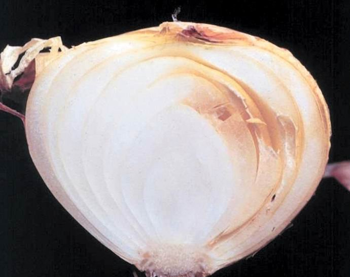 <p><b>Sour skin</b><i> (Pseudomonas cepacia)</i> of onion. </p>     <p>© David B. Langston, University of Georgia, Bugwood.org What to do:      </p>