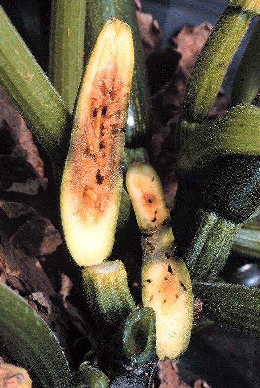 """<p>Internal <b>fruit fly damage <a href=""""/taxonomy/term/309"""" title=""""Symptom - the plant&#039;s response to the disease causing organism, examples are; changes in plant color, death of infected tissues, and wilting. It is the external or internal physical characteristic of a disease as expressed by the host plant. """" class=""""lexicon-term"""">symptom</a>s </b>on courgette </p>      <p>(c) M. K.Billah, icipe</p>"""