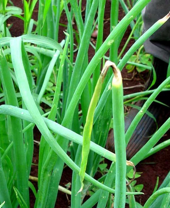"<p><b>Purple blotch </b>on onion. Leaf-tip dieback is a typical <a href=""/taxonomy/term/309"" title=""Symptom - the plant&#039;s response to the disease causing organism, examples are; changes in plant color, death of infected tissues, and wilting. It is the external or internal physical characteristic of a disease as expressed by the host plant. "" class=""lexicon-term"">symptom</a> of infection by <i>Alternaria porri </i>on onion.</p>     <p>© A. M. Varela, icipe</p>"