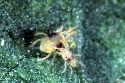 <p>Two-spotted <b> spider mite </b> <i> (Tetranychus urticae)</i> . The adult female is 0.6 mm long. The male is smaller. </p>      <p>(c)  Warwick HRI, University of Warwick</p>