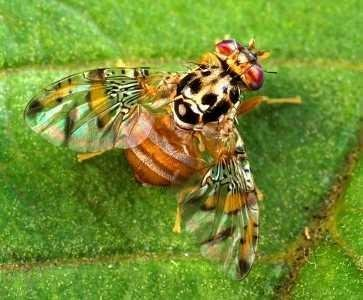 "<p><b>Mediterranean fruit fly </b> <i> (Ceratitis capitata)</i>. Adult mediterrenean fruit flies are 4-7 mm long, brightly coloured, usually in brown-yellow patterns. The wings are spotted or banded with yellow and brown margins. </p>      <p>(c) Scott Bauer, USDA Agricultural Research Service, <a href=""http://www.insectimages.org"">www.insectimages.org</a></p>"