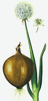 "<p><b>Onion</b> (<i>Allium Cepa</i>), a drawing of the whole plant,flower and bulb.</p>     <p>© Courtesy EcoPort (<a href=""http://www.ecoport.org"">http://www.ecoport.org</a>): MEDIMPEX, Hungary.</p>"