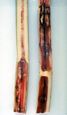 "<p>Reddening, followed by black areas of rot, on stems of sugarcane with <b>pineapple disease</b> caused by <i>Ceratocystis paradoxa</i></p>     <p>(c) Courtesy EcoPort (<a href=""http://www.ecoport.org"">http://www.ecoport.org</a>): Bureau of Sugar Experiment Stations, Queensland </p>"