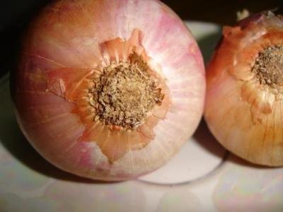 "<p> <b>Onion</b> (<i>Allium cepa</i>)</p>     <p>© Courtesy EcoPort (<a href=""http://www.ecoport.org"">http://www.ecoport.org</a>): Pankaj Oudhia</p>"
