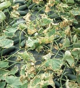 "<p><b>Downy mildew </b><i>(Pseudoperonospora cubensis)</i> on cucumber. Severe defoliation of cucumber caused by infection from downy mildew. Fruits are not infected, but those that form are small and do not ripen properly.</p>      <p>© Courtesy EcoPort (<a href=""http://www.ecoport.org"">http://www.ecoport.org</a>): Denis Persley and Tony Cooke, Department of Primary Industries and Fisheries, Queensland, Australia</p>"