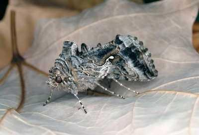 "<p><b>Cabbage looper</b> (adult moth). The adult is ca 2.5 cm in length and mottled, grayish-brown. The wingspan is ca. 4 cm. </p>      <p>(c) Joseph Berger, <a href=""http://www.insectimages.org"">www.insectimages.org</a>. Courtesy of Ecoport (<a href=""http://www.ecoport.org"">www.ecoport.org</a>)</p>"