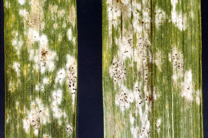 <p><b>Powdery mildew </b>on Barley </b> <i> (Blumeria graminis) </i> </p>      <p>© Clemson University - USDA Cooperative Extension Slide Series, Bugwood.org\n</p>