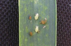 <p><b>Aphids </b>on a leaf blade of wheat plant </p>      <p>© A.A. Seif</p>