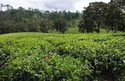 "<p><b>Tea (</b><i>Camellia sinensis)</i> Tea plantation in Tanzania</p>     <p>(c) Courtesy EcoPort (<a href=""http://www.ecoport.org"">http://www.ecoport.org</a>): Chuck Bargeron, The University of Georgia</p>"