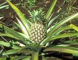 "<p><b>Pineapple</b> (<i>Ananas comusus</i>)</p>     <p>(c) Courtesy EcoPort (<a href=""http://www.ecoport.org"">http://www.ecoport.org</a>): French B. </p>"