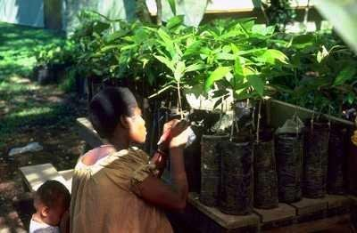 "<p><b>Budding of cocoa plants</b></p>     <p>(c) Putter CA (Courtesy of EcoPort, <a href=""http://www.ecoport.org"">www.ecoport.org</a>)</p>"