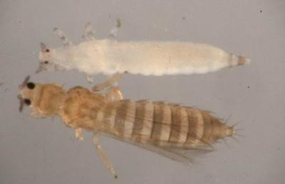"<p><b>Adult and immature thrips</b><i> (Thrips tabaci)</i>. Immatures (on top) are wingless and generally are light colored. Immatures are generally light colored without wings. Adults vary in color and have four wings lined with long hairs. The adult has four wings lined with long hairs, it is about 1-1.5mm small.</p>      <p>(c) Courtesy EcoPort (<a href=""http://www.ecoport.org"">http://www.ecoport.org</a>): Alton N. Sparks, Jr., The University of Georgia</p>"