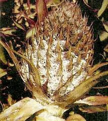 "<p>Severe infestation of <b>pineapple mealybug</b> on the fruit</p>      <p>(c) Courtesy EcoPort (<a href=""http://www.ecoport.org"">http://www.ecoport.org</a>): Bedford ECG, de Villiers EA </p>"