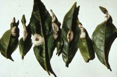 "<p> <b>Blister bligh</b>t on tea leaves</p>     <p> (c) Courtesy EcoPort (<a href=""http://www.ecoport.org"">http://www.ecoport.org</a>): Jurgen Kranz 	</p>"