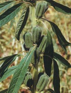 """<p><i>Sesamum indicum </i>capsules</p>     <p>© Courtesy EcoPort (<a href=""""http://www.ecoport.org"""">http://www.ecoport.org</a>): April Oleagineux </p>"""
