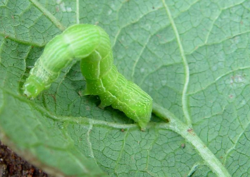 "<p><b>Cabbage looper</b> on cabbage. The first <a href=""/taxonomy/term/283"" title=""Growth stages. "" class=""lexicon-term"">instar</a> is white and almost clear with a black head capsule. Later <a href=""/taxonomy/term/283"" title=""Growth stages. "" class=""lexicon-term"">instar</a>s are green with a thin white line on each side. Mature larvae reach 3 to 4 cm in length. </p>      <p>(c) A.M. Varela, icipe</p>"